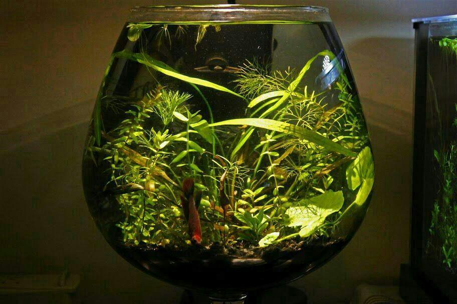 Buy betta fish setup bowl online for Fish tank bowl