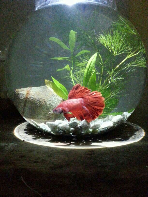 buy betta fish setup bowl online