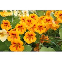 Greenfield Nastursium Special Mix Flower Seeds | Pack Of Three