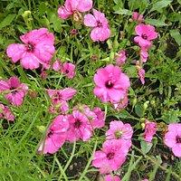 Greenfield Clarkia Brillant Mix Flower Seeds | Pack Of Three