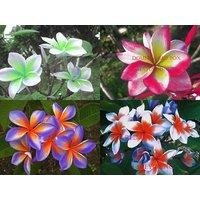 """NEW HYBRID FRAGRANT PLUMERIA CUTTING WITH ROOTED 7-12"""" COLLECTON OF 4 PLANTS!"""