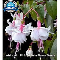 White With Pink Fuchsia Flower Seeds