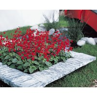 Salvia Splendens 'Sangria'-Red Flowers/White Calyx Fresh Seeds - 10 Seeds
