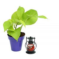 Golden Pothos In Purple Colorista Pot With Scented Candle Lantern
