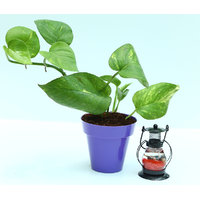 Money Plant In Purple Colorista Pot With Scented Candle Lantern