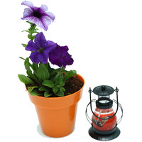 Petunia With Scented Candle Lantern