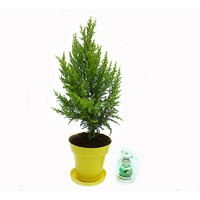 Golden Cypress In Yellow Colorista Pot With Scented Candle Lantern