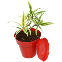 Song Of India Plant-Light Green In Red Colorista Pot