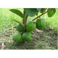Rare Little Dwarf Guava Fresh Seeds, Free Shipping, High Yielding Variety