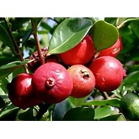 Rare Delicious Strawberry Guava/Cattley Guava Fresh Seeds With Free Shipping
