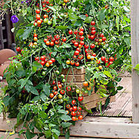 Tomato Seeds - Potted Tomato Seeds - Dwarf Variant