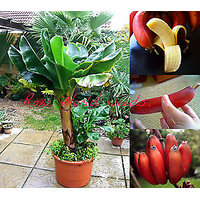 DWARF Beautiful And Delicious RED Banana Small Tree Seed Musa Dwarf Red