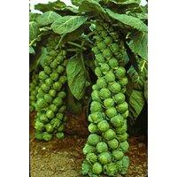 Cabbage Seeds Brussels Machuga Organic Heirloom Vegetable