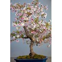 Beautiful Rare White Sakura Cherry Blossom Bonsai Tree Fresh Seeds