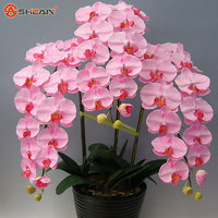 Pink Orchid Rare,beautiful Indoor And Outdoor Phalaenopsis Bonsai 10 Pcs