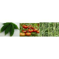 Hybrid Seeds Combo Pack Bitter Gourd, Tomato  Yard Long Beans Seeds(Pack Of 3 Per Pack 30 Seeds)