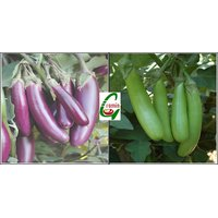 Hybrid Brinjal Seeds Combo Pack  25 Each Of Brinjal Purple Long And Brinjal Green Long Seeds For Kitchen Terrace