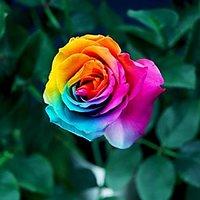 Futaba Rare Rainbow Rose Seeds - 100 Pcs - 94017705