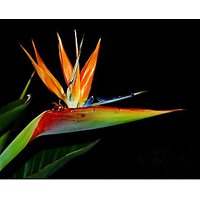 Strelitzia Reginae Seed, Bird Of Paradise Seed, 5 Seeds