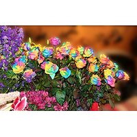 Rainbow Rose Seeds Multi-colored Rose 10 Seeds Rose Flower Seeds