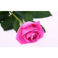 Beautiful Pink Rose Seeds 10 Seeds Pink Rose Flower Seeds
