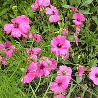 Greenfield Clarkia Brillant Mix Flower Seeds | Pack Of Three