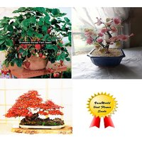 Cherry Blossom+Strawberry + Maple Bonsai Tree Seeds -Total 50 Bonsai Seeds Pack