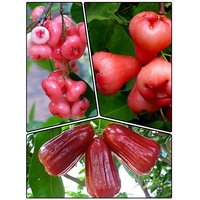 Pack Of 10 Rose Water Apple Seeds Highly Nutricious For Health