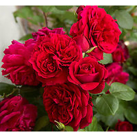 Rose Flower Seed - Fire Red Climbing Rose Climber Seed - Pack Of 10 Seeds