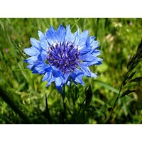 Saaheli Corn Flower Double Mix Seed (10 Per Packet)