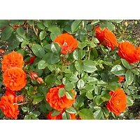 Climbing Rose Seeds - Climbing Orange Rose Seeds - 10 Seeds - Rose Flower Seeds