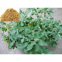 Rare Ashwagandha Withania Somnifera Or Indian Ginseng Seeds For Growing