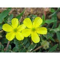 Tribulus Terrestris Herb Seeds