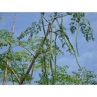 Vegetable Seeds DRUMSTICK - Hybrid Seeds - Moringa Oleifera-pack Of 25 Seeds