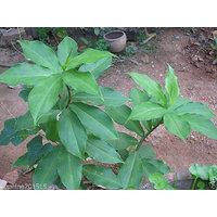 INSULIN PLANT / Fiery Costus/ Step Ladder/ Spiral Flag 5 Rhizomes