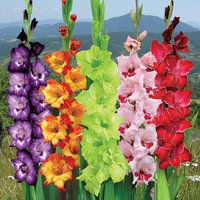 Different Perennial Gladiolus Flower Seeds Rare Sword Lily 10 Seeds