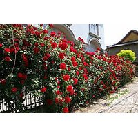 Climbing Red Rose Seeds - Pack Of 10 Seeds