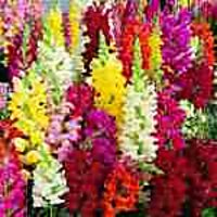 A Pack Of Lovely Antirrhinum,Dahlia,African Marigold,Petunia Flowers With A Pack Of MANURE(FREE)